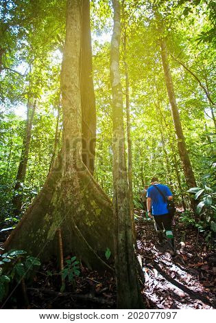Unidentified Person Passing By A Tall Tree With Big Root Buttress In Tabin Jungle, Sabah Borneo, Mal