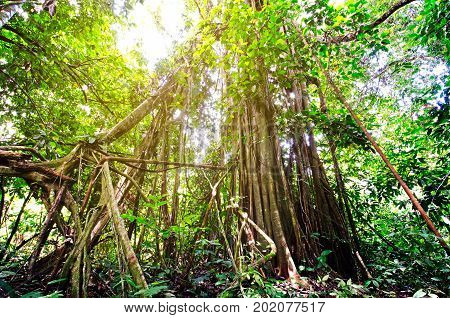 Strangler Or Weeping Fig Tree (ficus Benjamina) In Danum Valley Conservation Area, Sabah Borneo, Mal