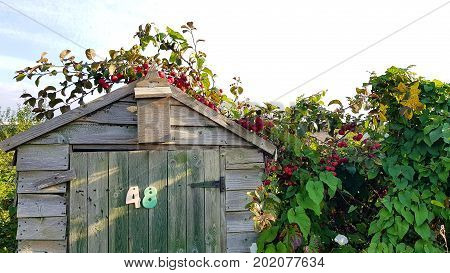 Garden shed with crab apple growing over the top