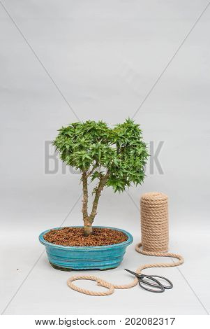 Japanese bonsai in a ceramic pot with tools to care for indoor plants.
