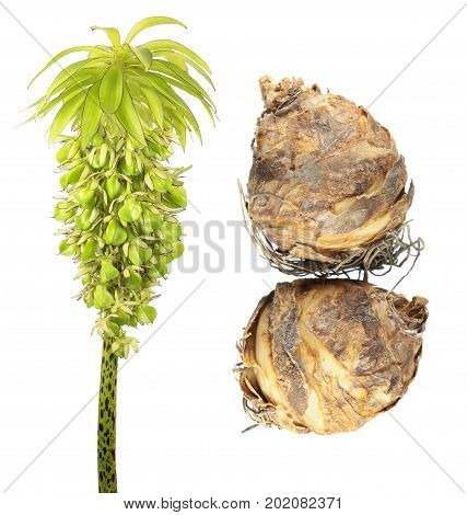 Bulbs and flower with seeds of variegated pineapple lily (Eucomis bicolor) isolated on white background