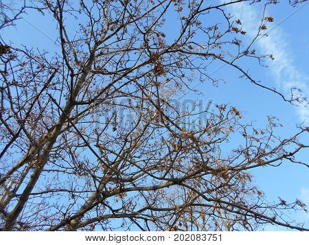 Naked tree crowns with fallen leaves against the blue sky