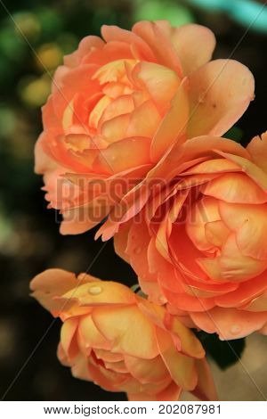 Vertical image of beautiful roses in the warm color of peach