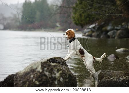 Cavalier King Charles Spaniel dog standing up on rocks at beach