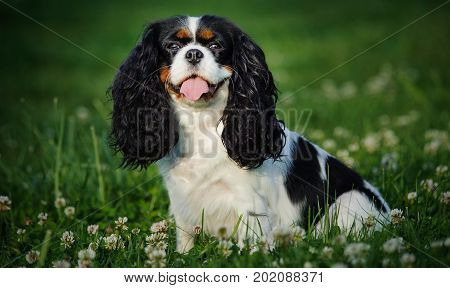 Cavalier King Charles Spaniel dog sitting in grass with flowers
