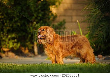 Cavalier King Charles Spaniel dog standing in yard