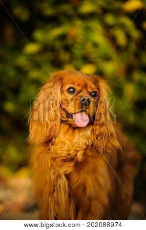 Cavalier King Charles Spaniel dog standing in green bushes