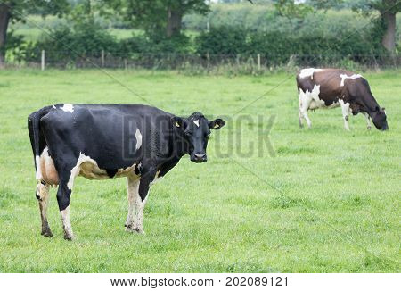 Holstein Friesian cattle in a grass pasture