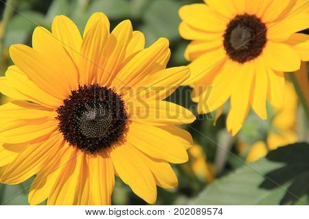 Horizontal image of bright and cheerful sunflowers fully open to the warmth of Summer sunshine.