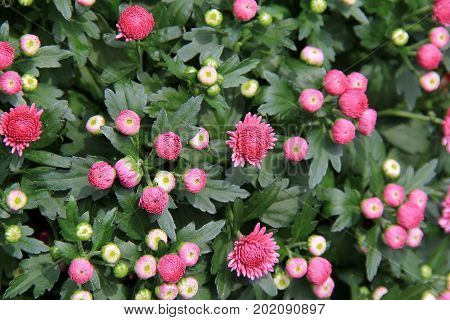 Horizontal image of hardy mums in the pretty color of pink