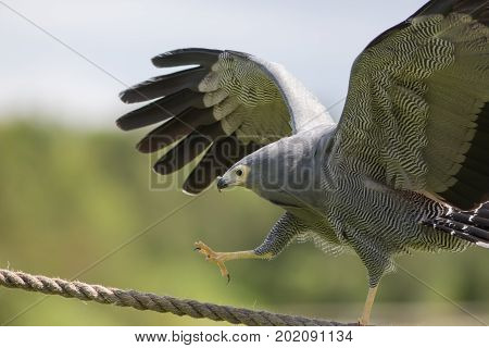 Amazing animal on display. African harrier hawk (Polyboroides typus) bird of prey climbing rope.