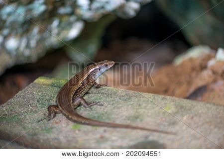 Brown lizard basks on a rock in a mountainous area close up