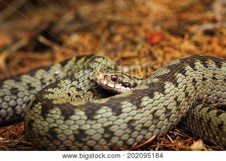 beautiful closeup of european crossed viper ( Vipera berus )