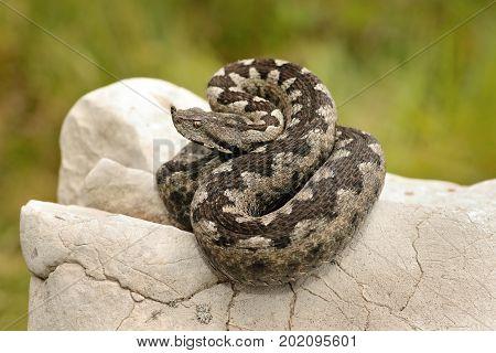 beautiful pattern on Vipera ammodytes european venomous snake basking on a limestone rock