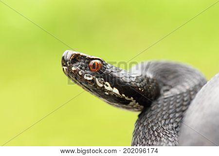 close up of black european common viper ready to strike ( Vipera berus melanistic female macro portrait )