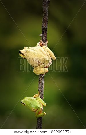 green tree frog family father and son standing on twig ( Hyla arborea )