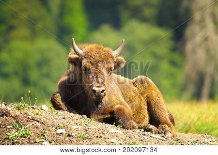 juvenile european bison resting on the ground ( Bison bonasus )