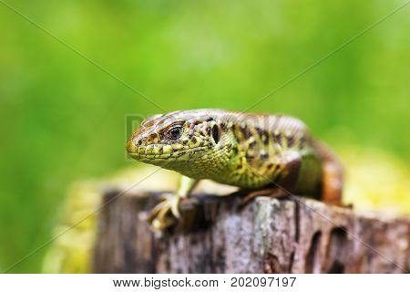 macro head of a male sand lizard ( Lacerta agilis short depth of field )