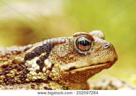 macro image of common brown toad head ( Bufo ) background with bokeh
