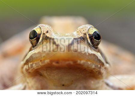 macro portrait of european grass frog ( Rana temporaria )