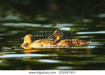 mallard ducks swimming on pond surface ( Anas platyrhynchos )