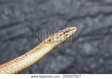 portrait of smooth snake over grey background ( Coronella austriaca ) reptile ready to change its skin
