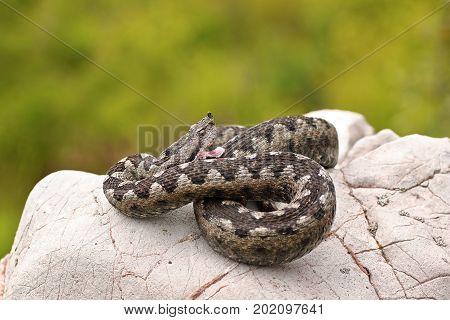 aggressive sand viper preparing to strike while basking on a limestone rock ( Vipera ammodytes )