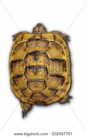 spur tighten turtoise on white background ( Testudo graeca )