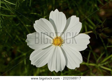 White daisy with yellow center and blurred green background
