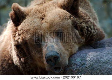 Sleepy brown bear in a sunny park