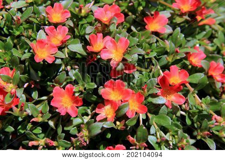 Pretty image of colorful flowers of stone crop plant, a great ground cover in anyone's garden.