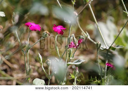 Rose Campion flowers (Silene coronaria) on flowerbed