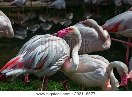 Pink flamingos against green background. Pink flamingos against green background. Pinked beaked white Flamingo.