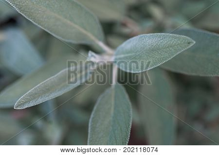 Top down view of common culinary sage, Salvia officinalis, leaves on sage plant
