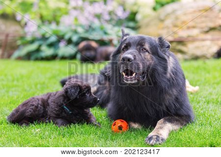 Adult Old German Shepherd Lies With A Puppy On The Lawn