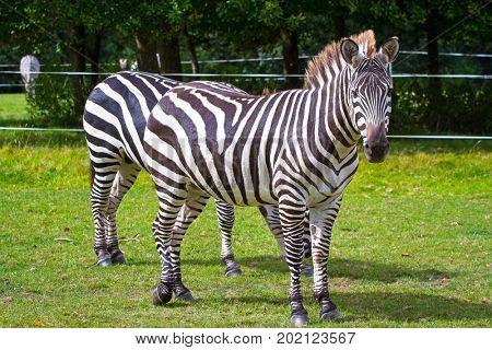 Zebra on grassland in the park