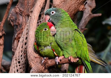 A pair of green parrot lovebirds snuggle with each other