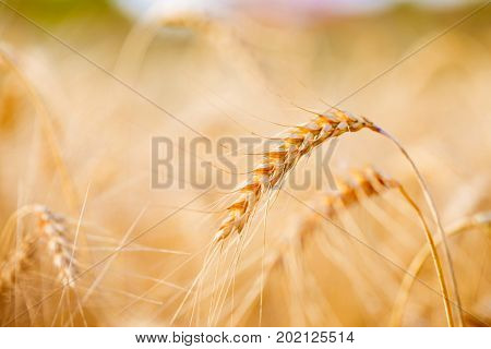 Picture of spikelets on blurred background