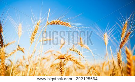 Photo of rye spikelets and clean sky