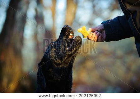 Black Labrador Retriever dog portrait outdoors receiving biscuit treat from human