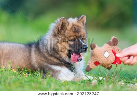 Hand With A Soft Toy Plays With An Elo Puppy