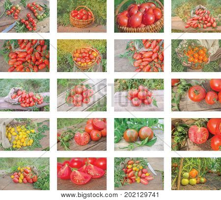 Collage Of Growing Tomatoes