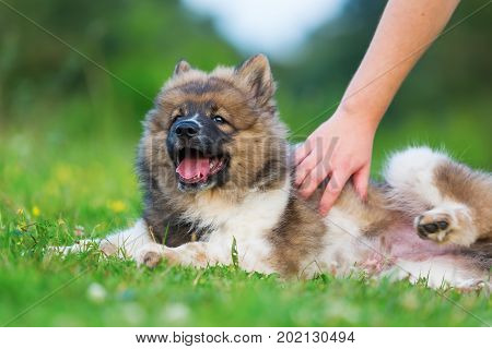 Hand Strokes A Cute Elo Puppy