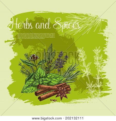 Spices and herbs vector poster of lavender, peppermint or cinnamon flavoring, farm garden thyme, oregano or green basil seasonings, black pepper or anise and sage or bay leaf and chives
