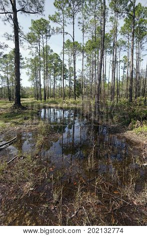 Landscape of tall Slash Pines at wet prairie habitat at Tarkiln Bayou Preserve State Park in Perdido FL after a big rain.