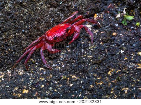 A Small Red Crab Is Hatching In The Crab Shell