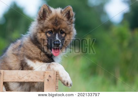 Portrait Of An Elo Puppy Who Sits In A Wooden Box