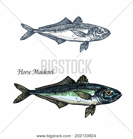 Horse mackerel fish vector sketch icon. Isolated sea or ocean scomber or scombridae species of marine fauna animal symbol for zoology, seafood or fish food restaurant, fishing club or fishery market