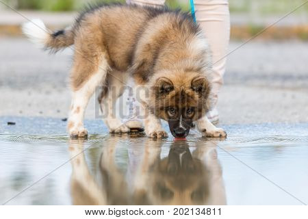 Elo Puppy Stands Beside A Puddle And Licking At The Water