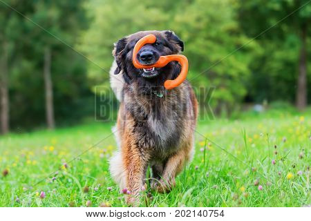 Leonberger Runs With A Toy In The Snout Over The Meadow